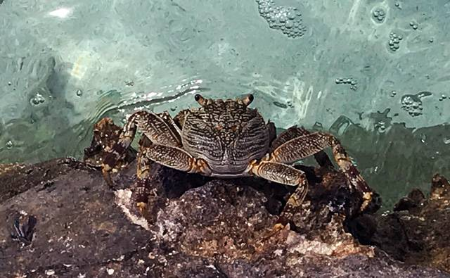 a patterned crab on Makunudu Island in the Maldives