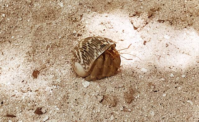 A large hermit crab on Makunudu in the Maldives